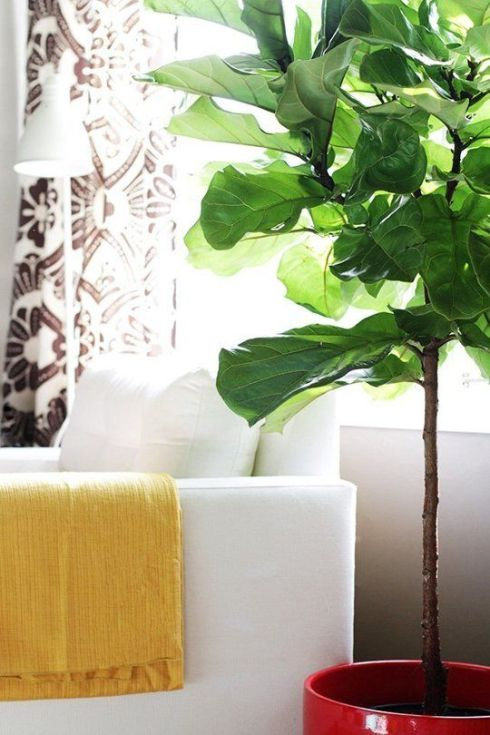 A fiddle leaf fig plant adds definitive California style to any space.